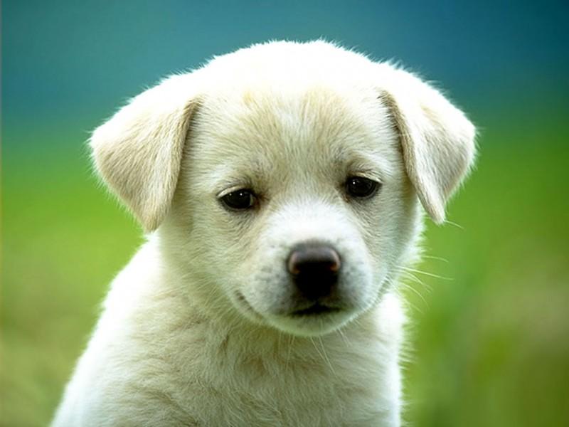 Pes biely